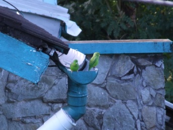 Every morning the guttering on the villa next door is visited by parrotlets