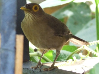 Bald Eyed Thrush