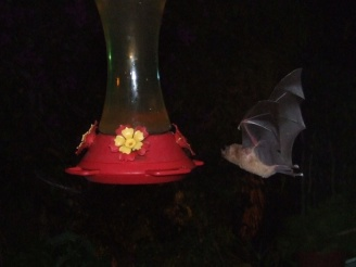 After sunset the hummingbird feeders are visited by bats!