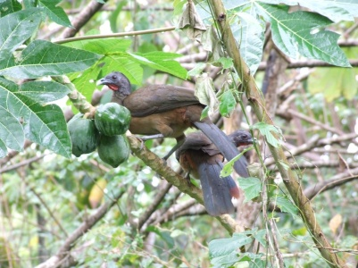 Rufous-vented Chachalacas