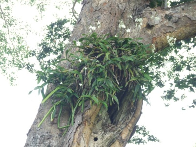 Epiphyte on a Balsam