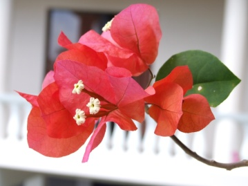 There are some pretty bougainvilleas