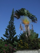 Ravenala madagascariensis, aka Travelers Tree, tends to grow in an East/West plane.