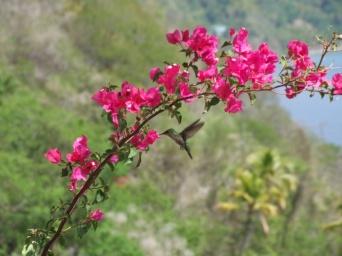 Antillean mango hummingbird (female)