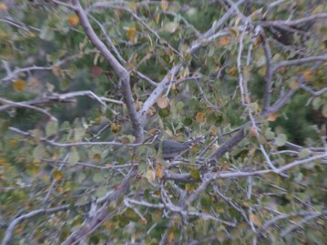 A flock of little birds went rapidly from tree to tree drinking water off the leaves (we think)
