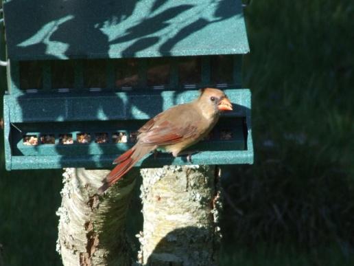 Cardinal (female)