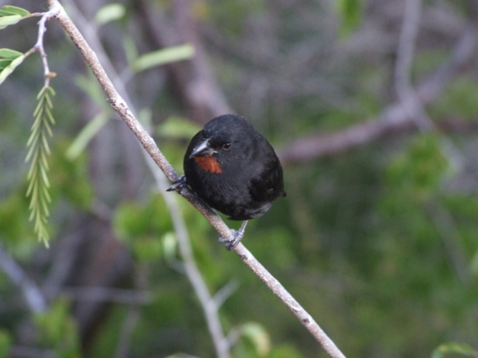 A lot of birds came to our deck - especially these lesser antillean bullfinches.