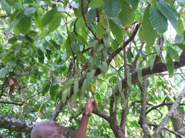 Here we learnt that vanilla is an epiphite that grows on cocoa trees