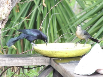Grackles were also common (and noisy) visitors.