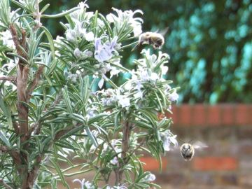 Big nosed bees at our windowbox