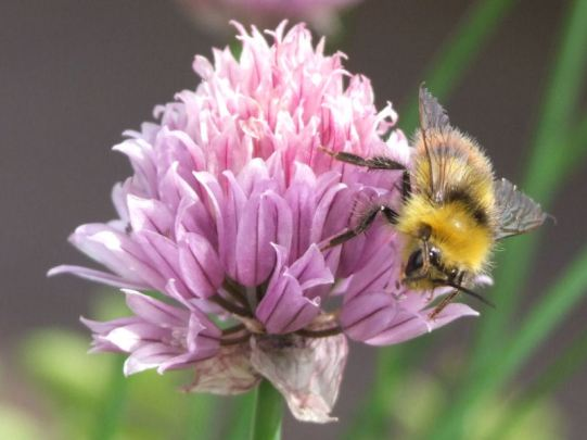 the bees love the chive flowers