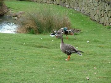 Duck Fight