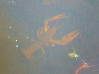 Enormous crayfish