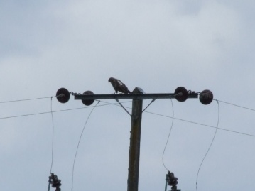 there's a buzzard on the other pole