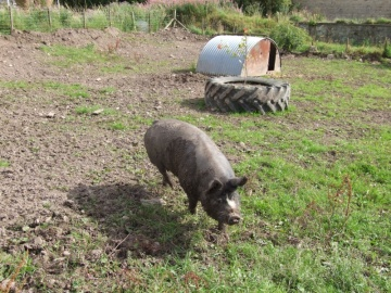 the herefordshire pig