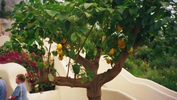 A lemon tree, my dear Watson.