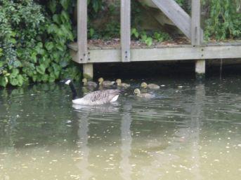 1st passer-by 'Look, ducklings! Init' 2nd passer-by 'Geeselings!'