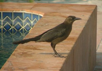 Grackles nested in the coconut palms around the pool - making the weirdest noises.
