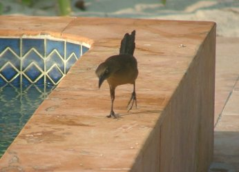 The grackles strutted around as if they owned the place.