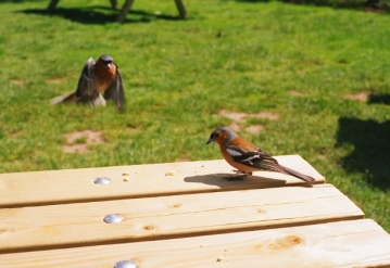 A couple of bullfinches.