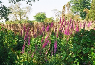Foxgloves were in bloom everywhere we went in Cornwall.