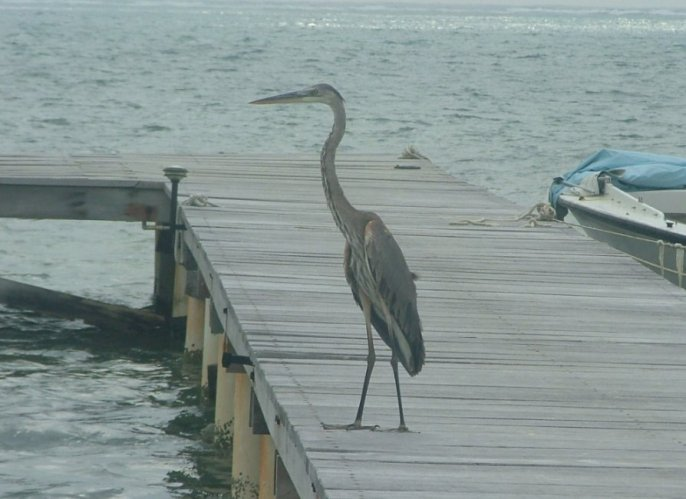 A Great Blue heron would occasionally drop in to fish at the beach.