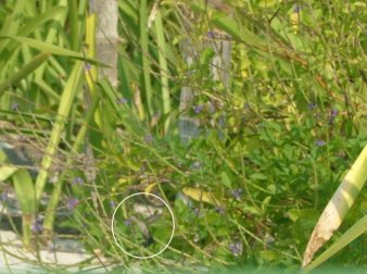 The Ruby-throated Hummingbird (Archilochus colubris) is extremely shy and hard to get a good picture of, so here is a bad one.