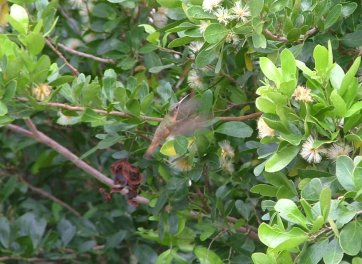 The Needle-billed Hermit Hummingbird (Phaethornis philippi) was marginally easier to capture.