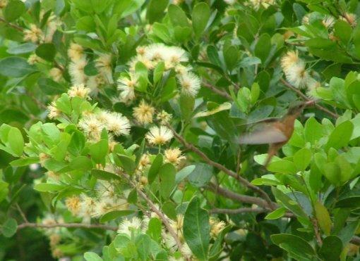 Needle-billed Hermit Hummingbird