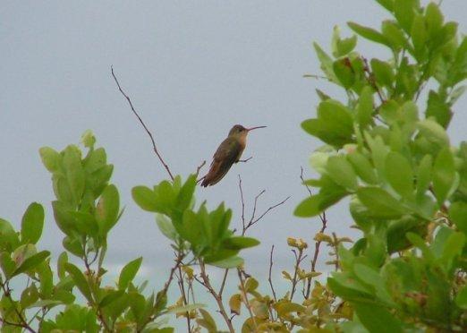 Needle-billed Hermit Hummingbird at rest
