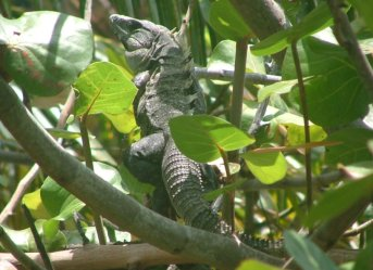 Sometimes the iguana sunbathed in the trees at the front of the villa.