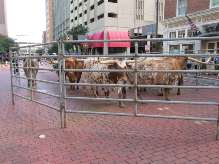Longhorn cattle on Main Street