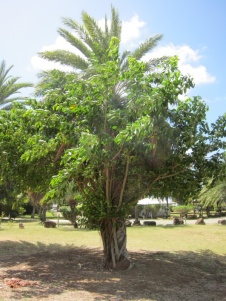 A palm tree wrapped in a ficus inside an enigma