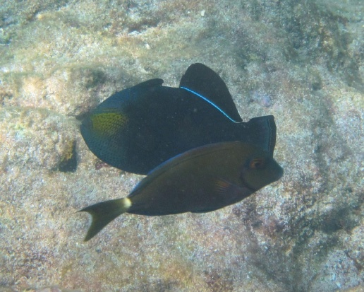 black durgon & surgeonfish