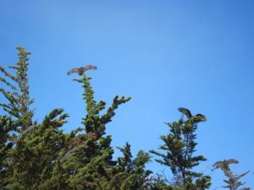 Turkey Vultures sunning themselves