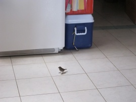 Mrs. Bullfinch is so bold she comes into the kitchen and helps herself. She even knows how to open the fridge.