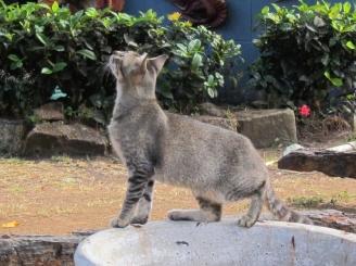 cat @ Nelson's Dockyard