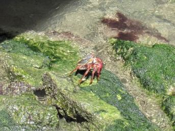 crabs at English Harbour