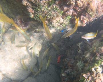 yellowtail snapper, lane snapper, blackbar soldierfish, queen angelfish and grunt
