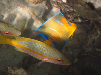 yellowtail snapper & queen angelfish