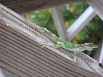 lizard shedding