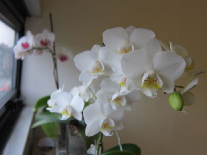 My orchids (valentine's day gifts 2 and 5 years ago)