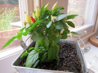 Chilli pepper - I'm not dead yet!