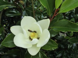 Magnolia full of bees