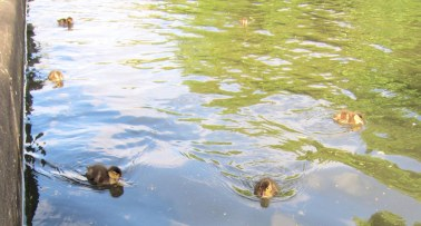 Ittle bitty baby ducklings on the canal!