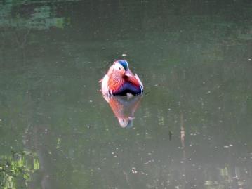 Pretty duck