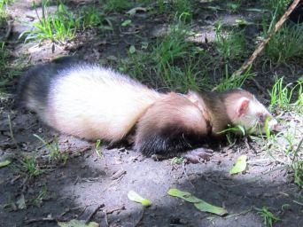 Regent's Park ferret