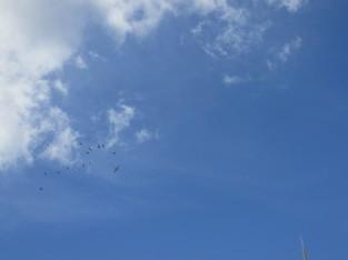 Pigeons mobbing a hawk