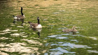 Geese on the canal