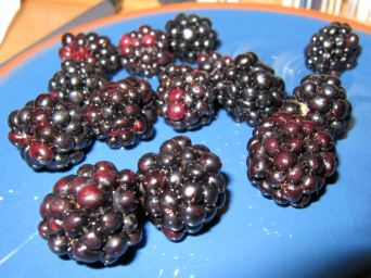 Blackberries picked on the canal towpath